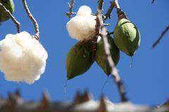 Ceiba pentandra Kapok Tree, Cotton Tree, Suma'ma PFAF Plant Database