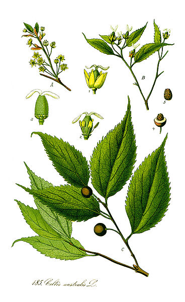 Celtis australis Nettle Tree, European hackberry