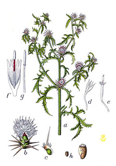 Centaurea calcitrapa Common Star Thistle, Red star-thistle