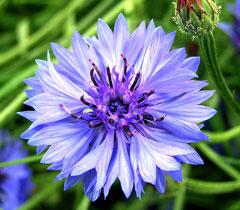Centaurea Cyanus Cornflower Garden Cornflower Blue Bottle Cornflower Pfaf Plant Database