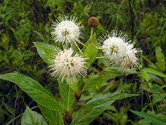 Cephalanthus occidentalis Button Bush, Common buttonbush, Button Willow, Honey Bells, Buttonbush