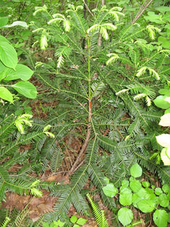 Cephalotaxus harringtonia nana Japanese Plum Yew