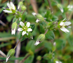 Cerastium semidecandrum Little Mouse-Ear Chickweed, Fivestamen chickweed