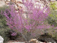 Cercis occidentalis Western Redbud, California Redbud