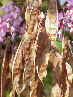 Cercis siliquastrum Judas Tree, Redbud