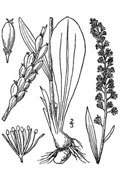 Chamaelirium luteum Blazing Star - Unicorn Root - Devil