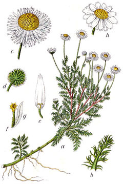 Image result for Roman – anthemis nobilis chamomile