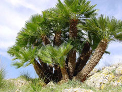 Chamaerops humilis Dwarf Fan Palm, European fan palm, Hair Palm, Mediterranean Fan Palm