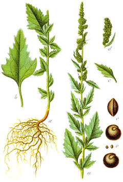 Chenopodium album Fat Hen, Lambsquarters