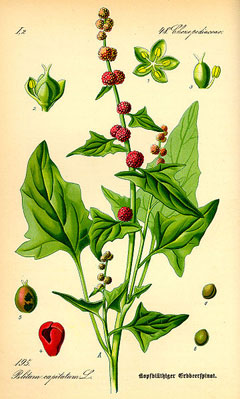 Chenopodium capitatum Strawberry Blite, 	Blite goosefoot