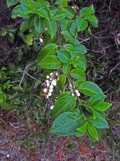 Chiococca alba West Indian Snow Berry, David