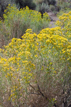 Chrysothamnus viscidiflorus Green Rabbitbrush, Yellow rabbitbrush