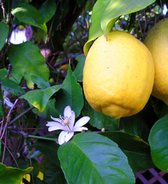 Citrus limon Lemon