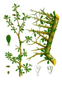 Commiphora myrrha Myrrh, Myrrh Gum