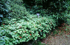 Cornus canadensis Creeping Dogwood, Bunchberry dogwood, Bunchberry