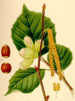 Corylus avellana Hazel, Common filbert, European Filbert, Harry Lauder