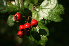 Crataegus laevigata Midland Hawthorn, Smooth hawthorn, English  Hawthorn