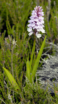 Dactylorhiza maculata Spotted Orchid