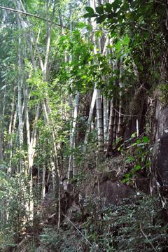 Dendrocalamus asper Giant Bamboo, Dragon bamboo, Sweet bamboo PFAF