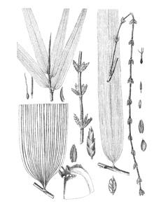 Dendrocalamus asper Giant Bamboo, Dragon bamboo, Sweet
