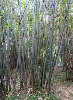 Dendrocalamus latiflorus Sweet Bamboo, Sweet bamboo shoot, Taiwan