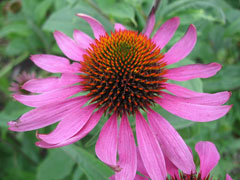 Echinacea purpurea Echinacea, Eastern purple coneflower, Hedge Coneflower, Black Sampson , Purple Coneflower