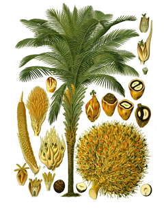 Elaeis African Oil Palm