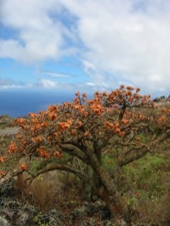 Erythrina sandwicensis Wiliwili, Hawaiian coral tree