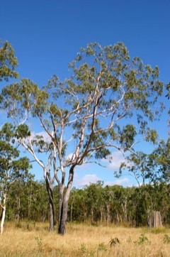 Eucalyptus brassiana Cape York red gum