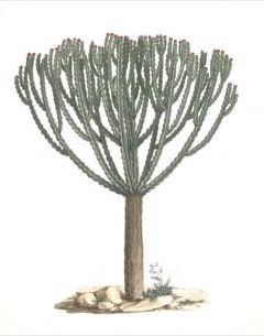 Euphorbia abyssinica Candelabra Spurge
