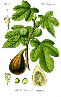 ficus carica Fig, Edible fig, Fig Common