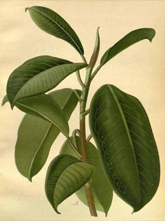 Ficus elastica Rubber Plant. India Rubber Tree