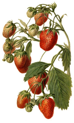 Fragaria x ananassa Strawberry
