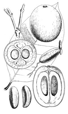 Garcinia kola Bitter Kola PFAF Plant Database