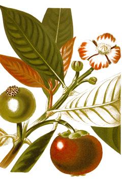 Garcinia mangostana Mangosteen, Manggis PFAF Plant Database