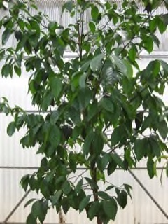 Garcinia morella Siam gamboge  Hanbury's garcinia PFAF Plant