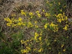 Genista pilosa procumbens Creeping broom, Creeping hairy broom