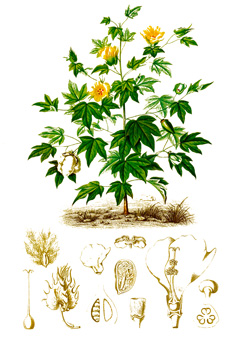 Gossypium Barbadense Sea Island Cotton Pfaf Plant Database