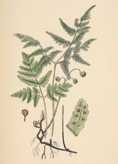 Gymnocarpium dryopteris Northern oak fern