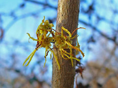 Hamamelis virginiana Witch Hazel