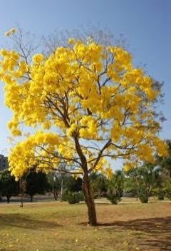 Handroanthus serratifolius Yellow Trumpet Tree