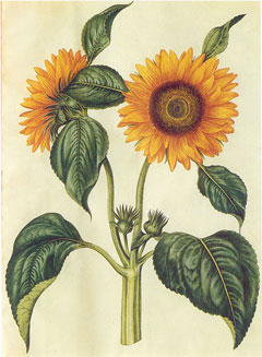 Helianthus annuus Sunflower, Common sunflower