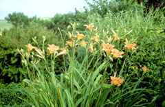 Hemerocallis_fulva Common Day Lily, Orange daylily, Tawny Daylily,  Double Daylily