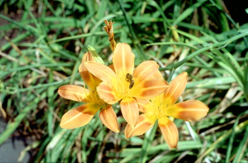 Hemerocallis littorea Coastal Day Lily