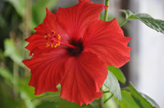 Hibiscus rosa-sinensis Chinese Hibiscus, Shoeblackplant, Hawaiian Hibiscus, Tropical Hibiscus, China Rose, Rose-of-China, S
