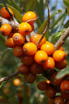 Hippophae rhamnoides sea buckthorn seaberry pfaf plant database - Growing sea buckthorn ...