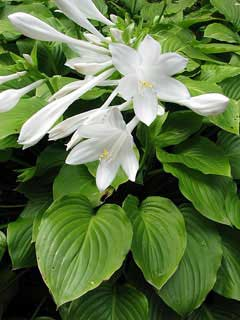 Hosta plantaginae August Lily