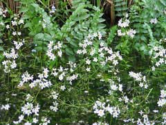 Hottonia palustris Water Violet