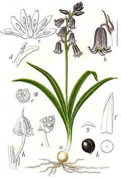 Hyacinthoides Nonscripta Bluebell Pfaf Plant Database