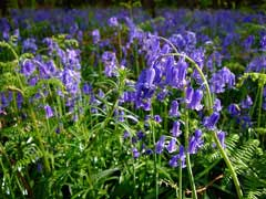 Hyacinthoides nonscripta Bluebell